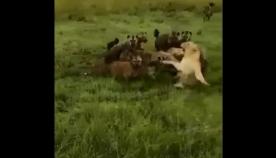 ლომების პრაიდმა თავისი მოძმე აფთრების ხროვისგან გადაარჩინა (ემოციური ვიდეო)