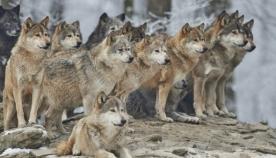 """""""ალფა-ხვადი"""": ჰყავთ თუ არა მგლების ხროვებს ლიდერები?"""