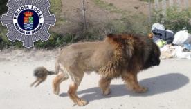 პატრონმა ძაღლს ისეთი ვარცხნილობა გაუკეთა, რომ შეშინებულმა ქალაქის მცხოვრებლებმა პოლიცია გამოიძახეს