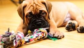 5 მიზეზი, თუ რატომ არის ძაღლისთვის სათამაშო აუცილებელი?