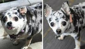 ჭარბწონიანი ძაღლები მანამდე და დიეტის შემდეგ (სახალისო ფოტოები)