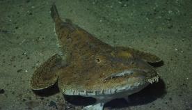 """ქართველმა მეთევზეებმა შავ ზღვაში თევზის უნიკალური სახეობა """"ზღვის ეშმაკი"""" აღმოაჩინეს (+ვიდეო)"""