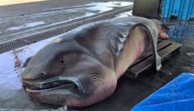 ის უიშვიათესი ზვიგენის სახეობას წარმოადგენს