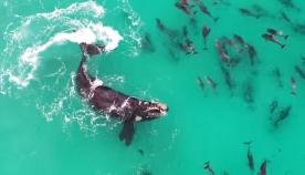 ვეშაპი დელფინებთან ერთად თამაშობს (+ვიდეო)