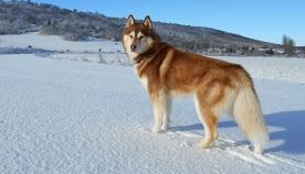ძაღლის 7 ჯიში, რომლებსაც ძალიან უყვართ სხვა ძაღლების გარემოცვაში ყოფნა