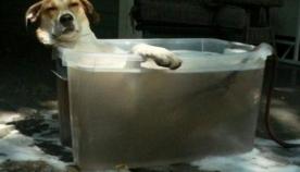ამ ძაღლებს, მოძმეებისგან განსხვავებით, აბაზანის მიღება ძალიან მოსწონთ (სახალისო ფოტოები)