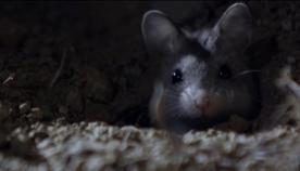 გაიცანით სასტიკი თაგვები, რომლებიც მორიელებს იჭერენ და მთვარის შუქზე ყმუიან (+ვიდეო)