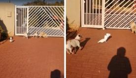 თუთიყუში ძაღლებთან ერთად  გამვლელებს უყეფს (სახალისო ვიდეო)