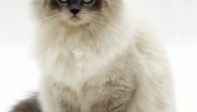 ბირმული კატა