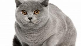 ლილისფერი კატები