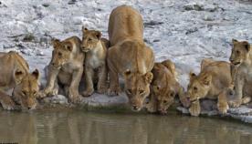 სამხრეთ აფრიკაში  აღმოაჩინეს ლომების ფერმა, სადაც 108 გასაცოდავებული მტაცებელი ბინადრობს
