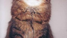 კუსფერი შეფერილობის კატა