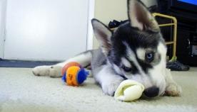 მოულოდნელობის ტოპ-ათეული ძაღლის ახალბედა პატრონისთვის