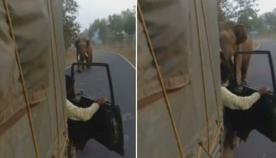 გაბრაზებული სპილო სატვირთო ავტომობილს გაეკიდა (ემოციური ვიდეო)