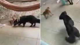 ძაღლებმა პატრონს მოულოდნელი სიურპრიზი მოუწყვეს (სახალისო ვიდეო)