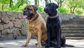 ძაღლის 10 ჯიში, რომლებიც სპეციფიური სუნით გამოირჩევიან