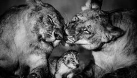 ისინიც გრძნობენ: აფრიკის ბინადარი ცხოველების ემოციური ფოტოები