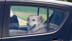 რა ემართება ძაღლს 15 წუთში, თუ მას სიცხეში მანქანის სალონში ჩაკეტავთ
