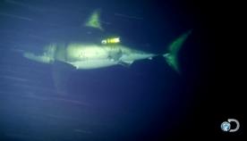 საოცარი კადრები - ვიდეოკამერამ დააფიქსირა თეთრი ზვიგენი, რომელიც  ძილის პროცესში 23 კმ/სთ-ს სიჩქარით მოძრაობს (+ვიდეო)