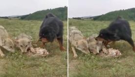 ტიბეტური მასტიფი ხნიერ მგელს და მის ნადავლს თავისი სხეულით გადაეფარა, რათა მშიერი ხროვისგან დაეცვა (ემოციური ვიდეო)