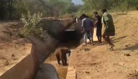 არხში ჩავარდნილი პატარა სპილო, გადარჩენის შემდეგ, მაშველებს შესაშინებლად გაეკიდა (გადარჩენის კადრები)