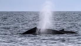 რატომ უშვებენ ვეშაპები და დელფინები თავიდან შადრევანს?