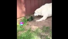 ძაღლები პატრონს გველისგან იცავდნენ, თუმცა, საბოლოოდ, ქვეწარმავალი მას თავში ესროლეს (+ვიდეო)