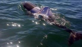 ავსტრალიაში მაისურიან დელფინს ეძებენ