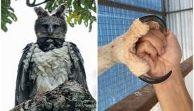 სამხრეთამერიკული ჰარპია: ფრინველი, რომელიც ბევრს შენიღბული ადამიანი ჰგონია