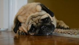 5 საყურადღებო ნიშანი, რომ თქვენი ძაღლი ფარულ ტკივილს განიცდის