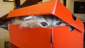სპეციალისტებმა გამოიკვლიეს, თუ რატომ მოსწონთ კატებს ყუთში თამაში