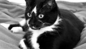 შავ-თეთრი კატა