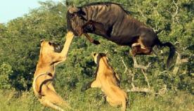 ანტილოპას საოცარი ნახტომი ლომებისგან თავის დასაღწევად (ემოციური ვიდეო)