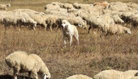 მწყემსი ძაღლები ნახირში
