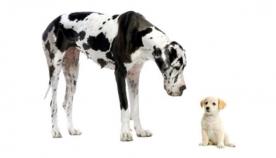 ლეკვების ურთიერთობა უფროს ძაღლებთან
