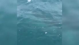 ავსტრალიელმა მეთევზეებმა ვიდეოზე ხუთმეტრიანი ზვიგენი გადაიღეს (+ვიდეო)