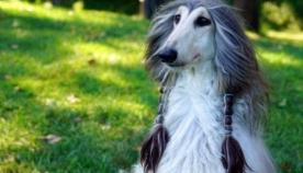 ავღანური მწევარი ეიჯეი, რომელიც ძაღლების მოდის ინდუსტრიაში წამყვანი მოდელია (+ფოტო)