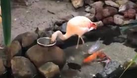 ზოოპარკში ტურისტმა ვიდეოზე გადაიღო, თუ როგორ აჭმევს ფლამინგო თევზებს (სახალისო ვიდეო)