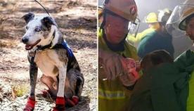 მამაცი ძაღლი ავსტრალიის ცეცხლმოკიდებულ ტყეში კოალების გადარჩენაზე ზრუნავს