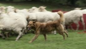 თითქმის უსინათლო ნაგაზი ცხვრის ფარაზე ზრუნვას კვლავ აგრძელებს
