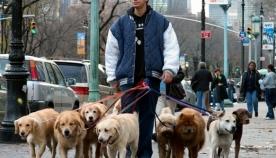 ახალი პროფესია - ძაღლის გამსეირნებელი