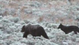 გრიზლი მგლების ხროვას შეუერთდა, რათა ზამთარი გადაიტანოს (+ვიდეო)