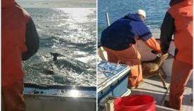 მეთევზეებმა დაუძლურებული ირემი სანაპიროდან 8 კილომეტრის დაშორებით აღმოაჩინეს