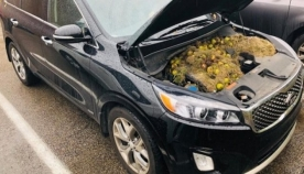 ციყვებმა ავტომობილის ძრავში კაკლის შემნახველი სათავსო მოაწყვეს