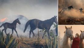 შვილის გადასარჩენად ცხენი ცეცხლმოკიდებულ თავლაში შევარდა (ემოციური ვიდეო)