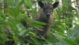 იაპონური სერაუ: მგელი ცხვრის ტყავში