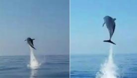 დედა დელფინი მადლიერებას გამოხატავს იმ მეთევზეების მიმართ, რომლებმაც მისი შვილი გადაარჩინეს (ემოციური ვიდეო)