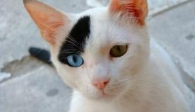 ცისფერთვალა კატა