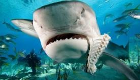 ზვიგენს დელფინის ეშინია და აი, რატომ