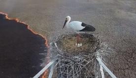 მინდორში გაჩენილი ხანძრის დროს ფრინველმა თავისი კვერცხები არ მიატოვა (ემოციური ვიდეო)